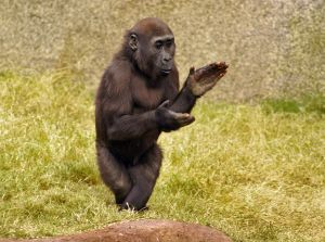 gorilla clapping